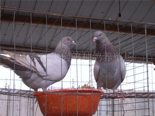 鸽子养殖技术_供应鸽子 鸽子养殖技术 山东养鸽场 嘉祥肉鸽价格
