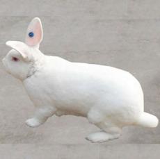 獺兔養殖前景 獺兔養殖技術 獺兔飼料配方