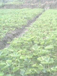 优质草莓苗供应