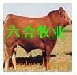 肉牛.肉羊.肉驢山東六合牧業養殖總場