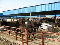 我想養驢 那里有肉驢養殖場 肉驢養殖價格聚鑫牧業