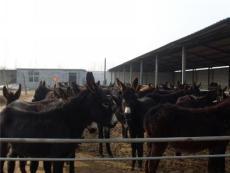 肉驢價格 肉驢效益分析 江蘇肉驢養殖場