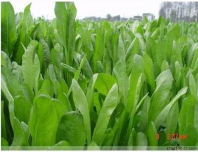 江西菊苣 将军 菊苣种子 菊苣价格供应