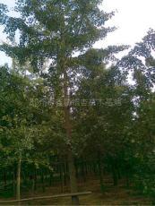 重庆银杏树 重庆银杏树价格 重庆银杏树的价格