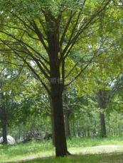 银杏实生树 15公分银杏实生树价格 16公分银杏实