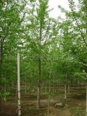 13公分银杏树价格 14公分银杏树价格 银杏树价格