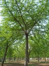 银杏嫁接树 15公分银杏嫁接树价格 14公分银杏嫁