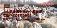 養羊要知道今年的肉羊行情及肉羊價格最新肉羊品種