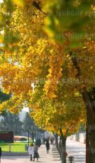 20公分银杏实生树 20公分银杏嫁接树 20公分银杏