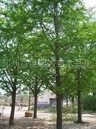 邳州园林局银杏基地提供银杏实生树 嫁接树价格