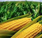 大豆 玉米 小麥 高粱