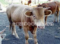 肉牛種羊專業養殖 山東嘉祥牛羊養殖基地