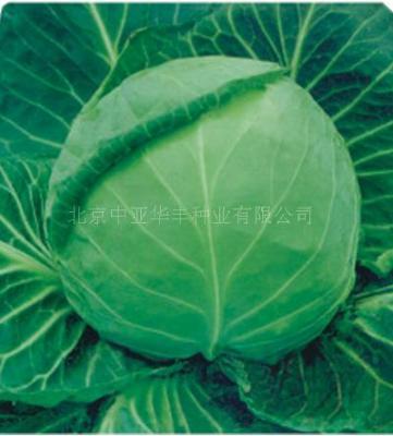 甘蓝种子 进口甘蓝种子 高产甘蓝种子比久-2