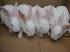 山东济宁獭兔价格 河北辛集獭兔皮毛市场 河南肉兔市场