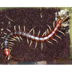 供应上海蜈蚣价格/上海蜈蚣种虫价格