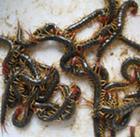 供应上海优质蜈蚣支种虫合同回收商品虫
