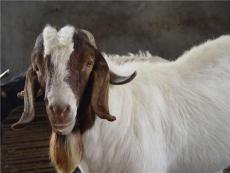 波爾山羊出售